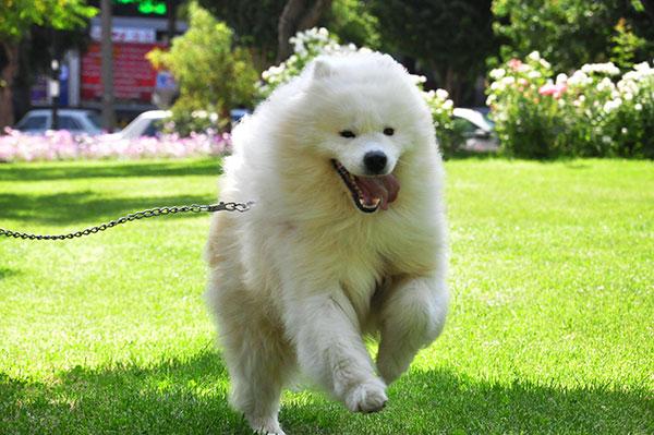سگ ساموید